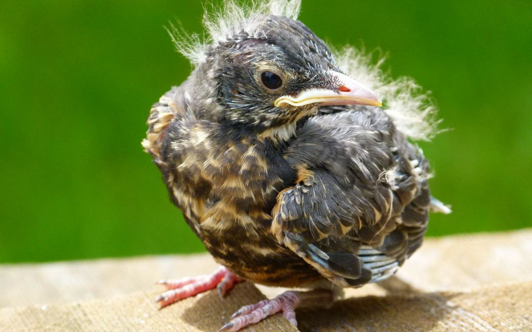 Molting: A Bird's Bad Hair Day