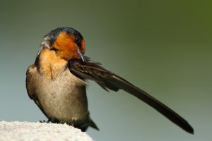 Small black and orange bird preening with one wing extended.