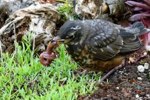 Red-breasted robin fledgling with worm