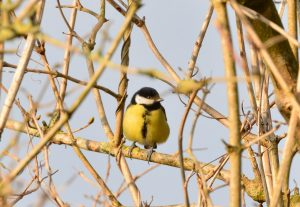 Fat chickadee perched on bare branch